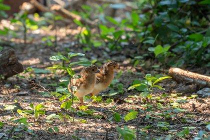 Los pichones nacieron durante febrero en el sector conocido como Yerbalito y abren la esperanza de un futuro para el ave que se estuvo extinta durante 50 años (FFyF Argentina)