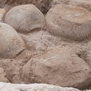 Los cuatro caparazones de glliptodantes hallados en Bolívar (Incuapa-Conicet)