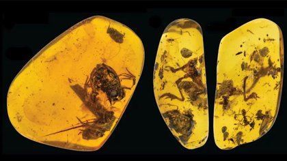 Una especie extinta, que ha sido denominada Electrorana limoae, es la evidencia directa más antigua de ranas viviendo en bosques tropicales húmedos