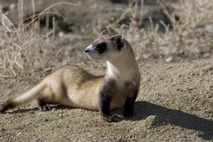 El hurón, perteneciente a la familia de los mustélidos, fue señalado como un animal que puede transmitir virus (Pixabay)