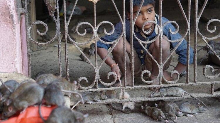 En este templo, pisar una rata sin querer y matarla es un pecado