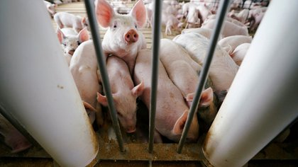 Investigan un virus detectado en cerdos chinos, denominado G4