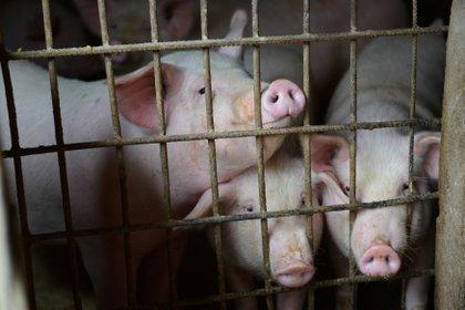 Los hisopos nasales de más de 30,000 cerdos chinos durante 7 años encontraron un aumento en un virus de influenza tipo aviar (REUTERS/Stringer)