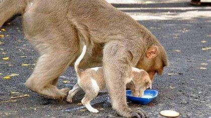 "El mono cuida que su \mascota\"" se alimente correctamente"" The Logical Indian 163"