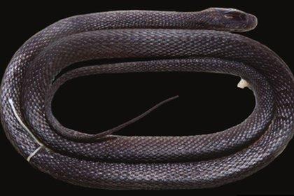 Es una especie rara que podría dar pistas sobre el proceso evolutivo de las serpientes.