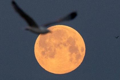 Una gaviota vuela mientras la luna llena de abril, llamada Super Pink Moon, se pone el 27 de abril de 2021 en Lorient, en el oeste de Francia (Photo by LOIC VENANCE / AFP)