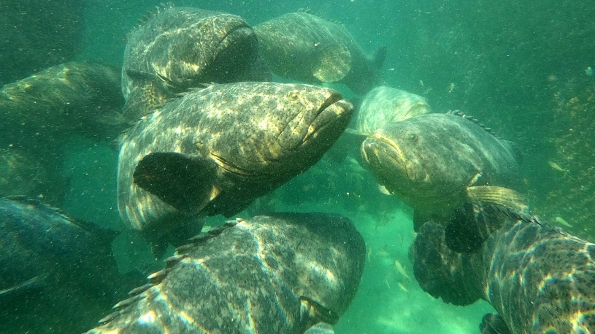 La primera reproducción exitosa de esta especie a nivel mundial fue su centro de Investigaciones CEINER. Foto: Facebook Oceanario Islas del Rosario.
