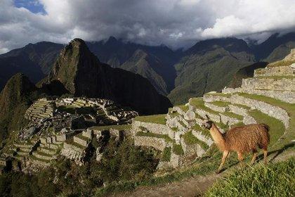 Imagen de archivo de una llama vista en la ciudadela de Machu Picchu, en el Cusco, Perú, Diciembre 2, 2014. REUTERS/Enrique Castro-Mendivil