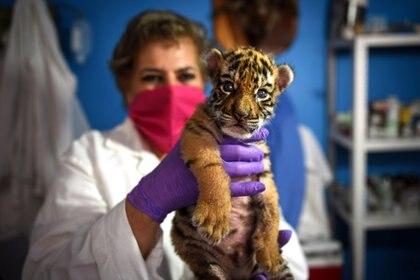 Covid nació en un zoológico privado del estado de Veracruz (Foto: AFP)
