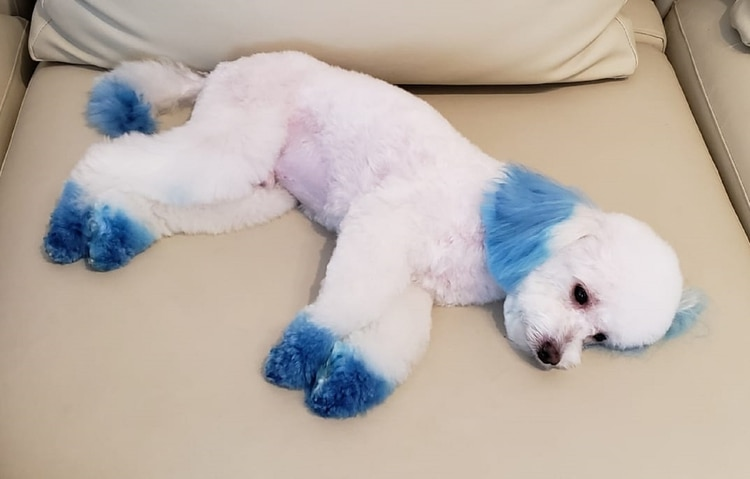 La actriz se encargó de que el producto para pintar a su mascota no fuera nocivo para su salud, por eso eligió colorante para decorar tortas