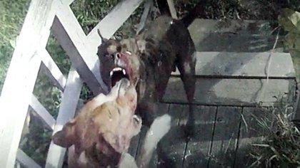 Para Mendoza, la razas peligrosas son Mastín Napolitano, Doberman, Pitbull, Bull Terrier, Dogo Argentino, Rottweiler, Presa Canario, Akita Inu y Gran Perro Japonés.