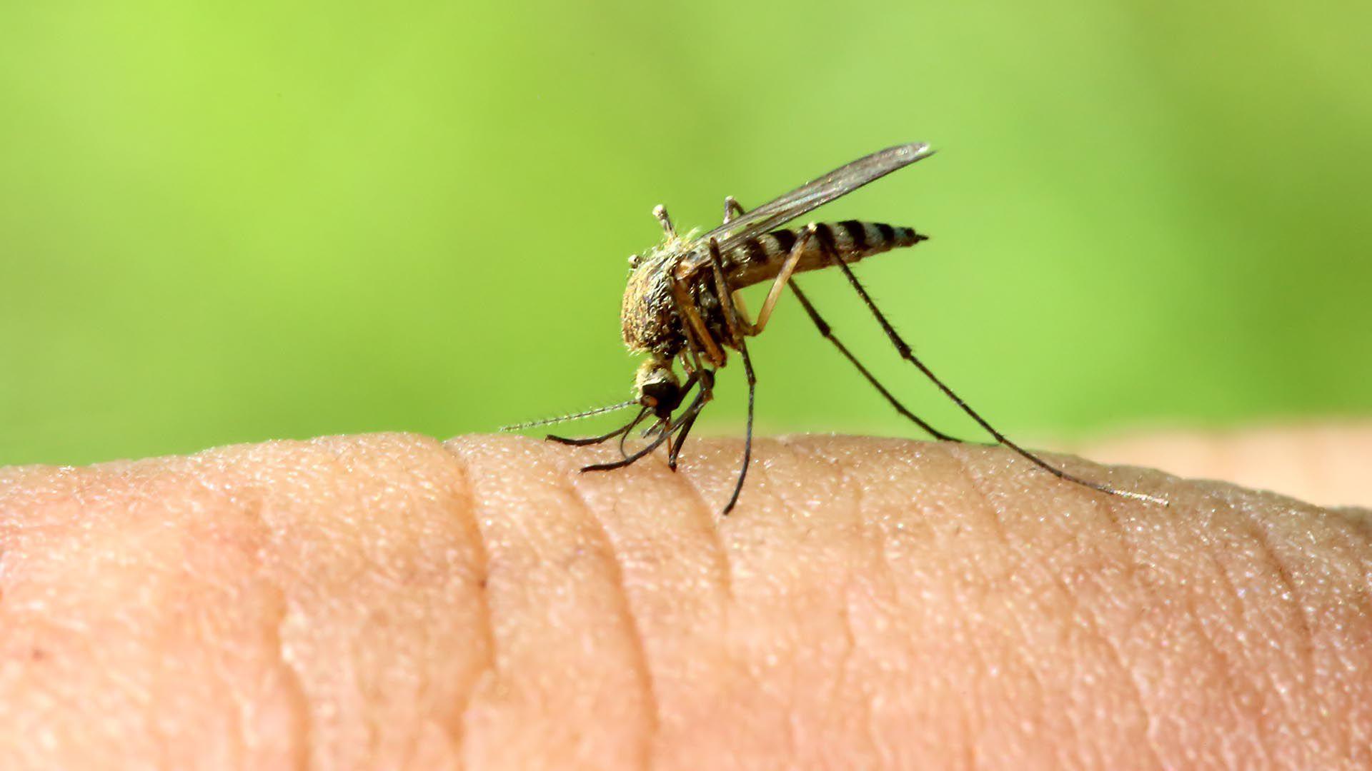 El dengue es una enfermedad transmitida por el mosquito Aedes aegypti - Foto: Shutterstock