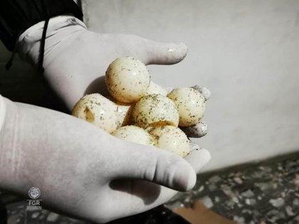 Los huevos de tortuga se venden en el mercado negro, en zonas como Tepito (Foto: FGR)