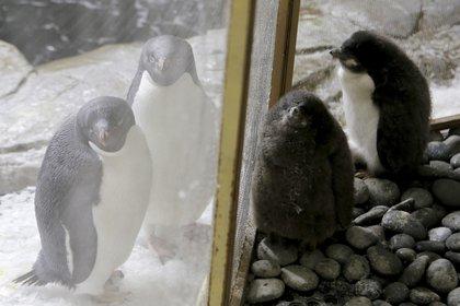 Los pingüinos nacieron hace poco más de un mes (Foto: Ulises Ruiz / AFP)
