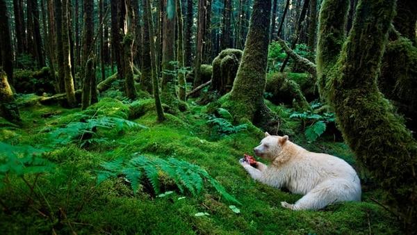 Un extraño oso blanco, ni albino ni polar, fue encontrado por el fotógrafo Paul Nicklen en Gribbel Island, Canadá en 2010. Su aparición impactó al mundo científico (National Geographic)