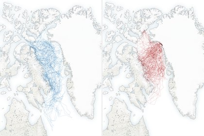 Los movimientos de los osos polares durante 1990 (azul) y en 2020 (rojo) (Shutterstock)