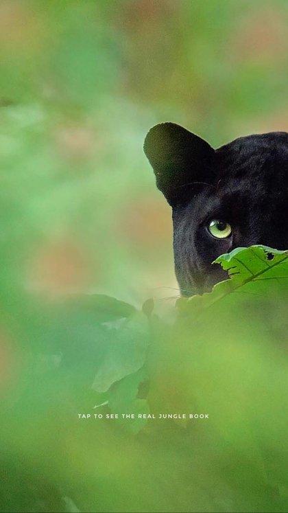 Saya es la única pantera negra del parque nacional de Nagarhole