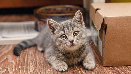 Se estima que hay alrededor de 600 millones de gatos pequeños en el mundo (Shutterstock)