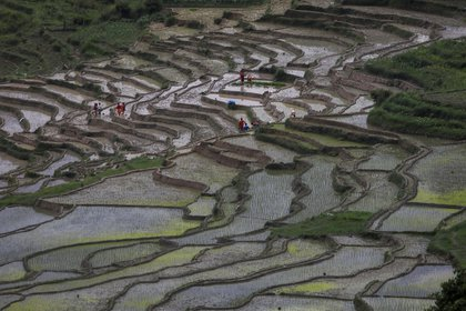 Campesinos en los campos de arroz durante la llegada del monsón la semana pasada en Bhaktapur, Nepal  (REUTERS/Navesh Chitrakar)