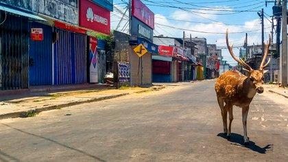 Un ciervo fue visto en las calles de Sri Lanka