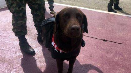 'Comando', el perro de alias 'Gurre', comandante del ELN del Urabá Antioqueño abatido ayer. (Fotos Ejército Nacional)