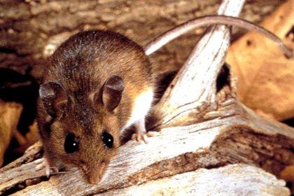 Si se encuentra un roedor vivo: usar veneno para roedores o tramperas para capturarlo (no intentar tocarlo o golpearlo). Consulte en el municipio si se dispone de un servicio de control de plagas