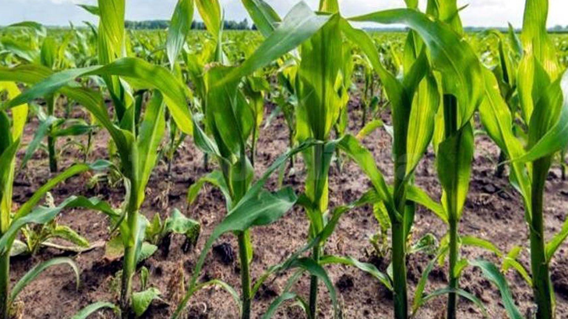 Avanza la siembra de maíz, con la incertidumbre de los productores sobre los efectos del clima, en un contexto de falta de precipitaciones