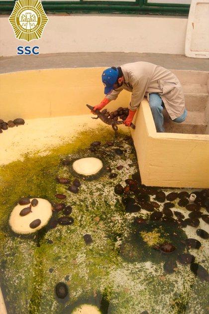 El cocodrilo fue puesto en libertad luego de su traslado a las instalaciones de la SEMARNAT (Foto: Secretaría de Seguridad Ciudadana)