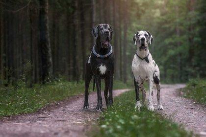 """El gran danés, dogo alemán o alano alemán es una raza canina conocida por su gran tamaño y personalidad delicada, considerado como el """"Apolo entre todas las razas"""" por la Federación Cinológica Internacional"""