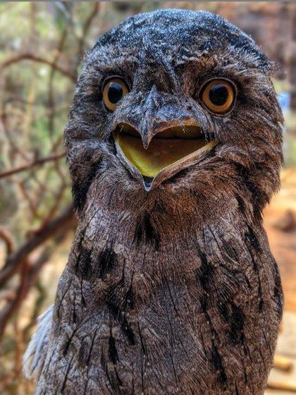 El podargo es un ave nocturna (Instagram: @blondezookeeper)