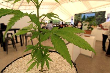 Diversos productos extraídos de la marihuana tienen carácter medicinal y pueden ser comercializados en México (Foto: EFE / Mario Armas)