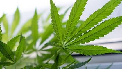 La marihuana, legal para uso medicinal en Massachusetts,se abre al consumo recreativo.(Getty)