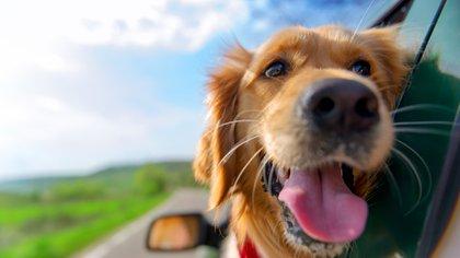 El golden retriever es el perro ideal para familias numerosas (iStock)