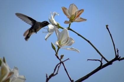 De las 330 especies de colibríes que existen en el mundo, 58 están en México FOTO: MARGARITO PÉREZ RETANA /CUARTOSCURO