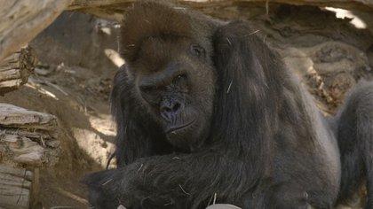 Se sospecha que un miembro del personal del zoológico fue quien contagió a los gorilas  (Foto: Captura de pantalla SAN DIEGO ZOO)
