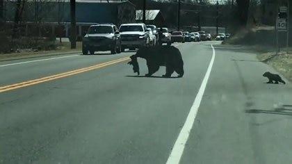 Tan solo en 2019, la autoridades registraron 7,300 avistamientos de osos en 150 de las 169 ciudades que comprenden Connecticut. (Foto: Captura de pantalla/@Hawk)