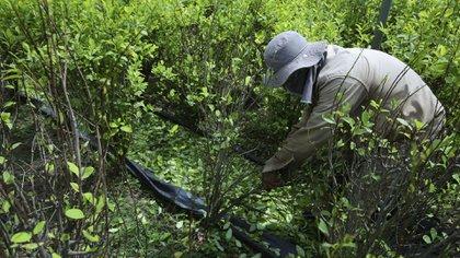 En 2017, se logró una erradicación manual de 52.571 hectáreas de cultivos de coca.