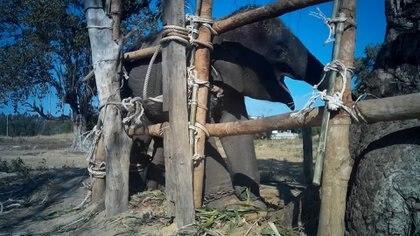 Parte del cruel entrenamiento de elefantes en Tailandia. (World Animal Protection)