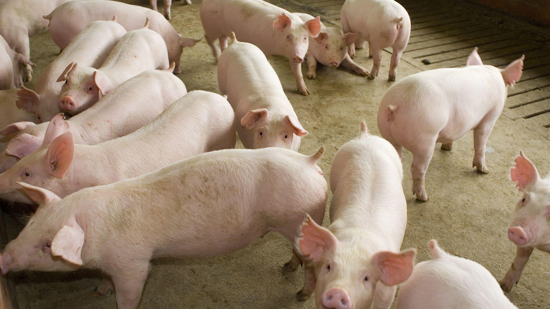 China busca recuperar las pérdidas que ocasionó en ese país la peste porcina africana. El impacto en el mercado mundial sobre los proyectos del gigante asiático ( Shutterstock )