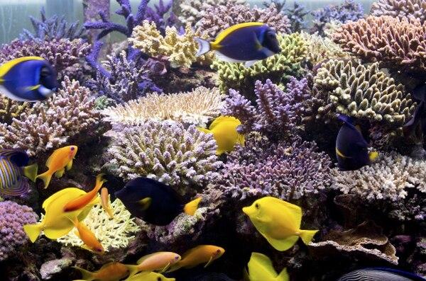 Investigadores de la Universidad de Victoria aseguran que solo el 5% de los arrecifes de coral en el territorio australiano de Christmas Island sobrevivieron entre 2015 y 2016, debido al intenso calor de El Niño. El aumento de la temperatura del agua hace que los arrecifes de coral se blanqueen, lo que significa que los arrecifes están enfermos y pierden su color. Hoy, Christmas Island sigue abierta a los turistas, y muchos de los corales se han recuperado. El Niño es un período de calentamiento de la temperatura de la superficie del mar que puede influir en los patrones climáticos, las condiciones oceánicas y las pesquerías marinas en grandes partes del mundo durante un período prolongado de tiempo, según la Administración Nacional Oceánica y Atmosférica