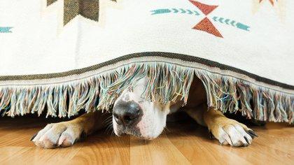 Los ruidos significan más intensidad y molestias para las mascotas  (Shutterstock)