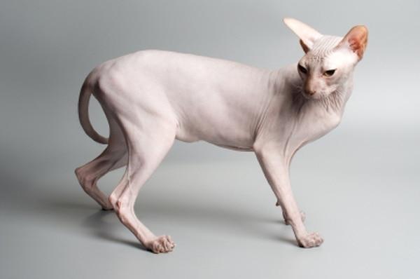 El sphynx, gato sin pelo