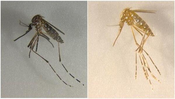 Algunos mosquitos editados son amarillos en lugar de negros, por ejemplo. (akbarilab.com/UC)