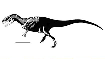 Reconstrucción del cráneo y mandíbulas inferiores del Asfaltovenator, basada en elementos craneales desarticulados (Conicet)