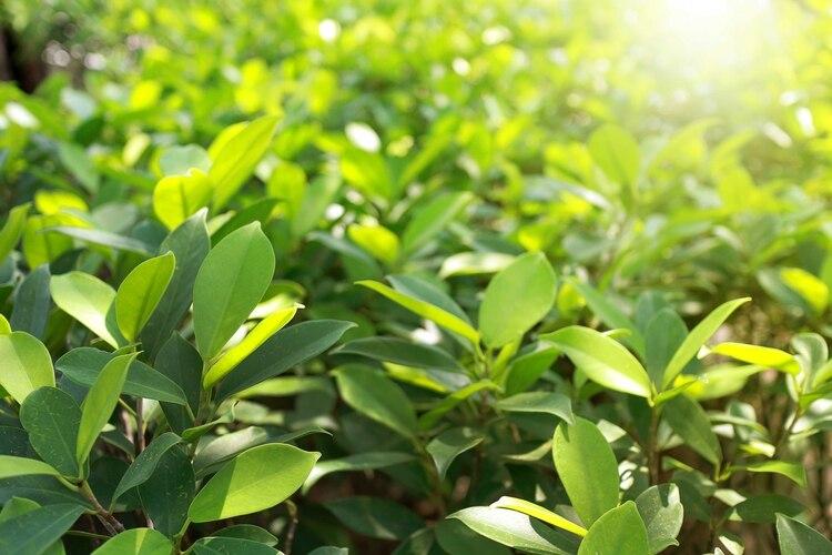 En la provincia de Corrientes hay 21 mil hectáreas cultivadas de yerba mate, mientras que en Misiones, principal productora, 144 mil hectáreas (Shutterstock)