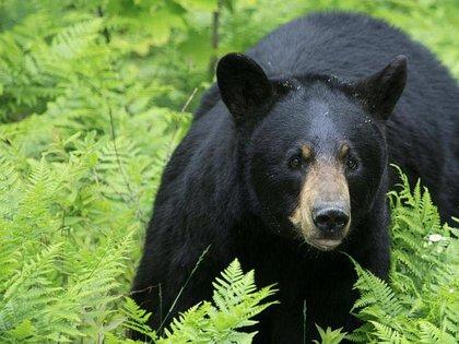 Aunque en su momento se dijo que castrar al oso era avalado por la Profepa en la capital mexicana, ahora se solicitan los estudios correspondientes (Foto: archivo)