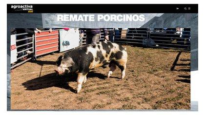 En el primer día de AgroaActiva Virtual se realizó un remate de porcinos (Foto: Agroactiva)