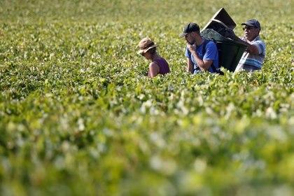 La agricultura orgánica sigue siendo un lugar importante, por lo que es difícil adaptarse a las cadenas de valor tradicionales. REUTERS / Regis Duvignau / Foto de archivo