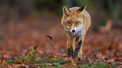 Los zorros, así como los perros, gatos y otros mamíferos, puede contagiar rabia (Shutterstock.com)