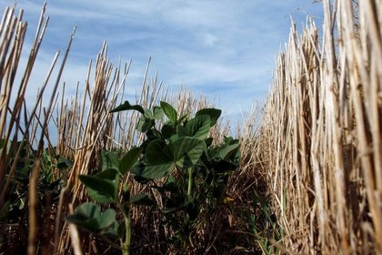 Los cultivos, como la explotación ganadera, no saben de feriados o paros, tienen su ciclo de desarrollo planificado previamente al coronavirus. Aunque en términos de transacciones, acusan el efecto inmediato de la volatilidad de los precios internacionales (Reuters)